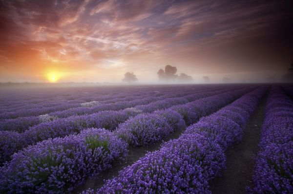 dawn-over-a-field-of-lavender-anthony-spencer